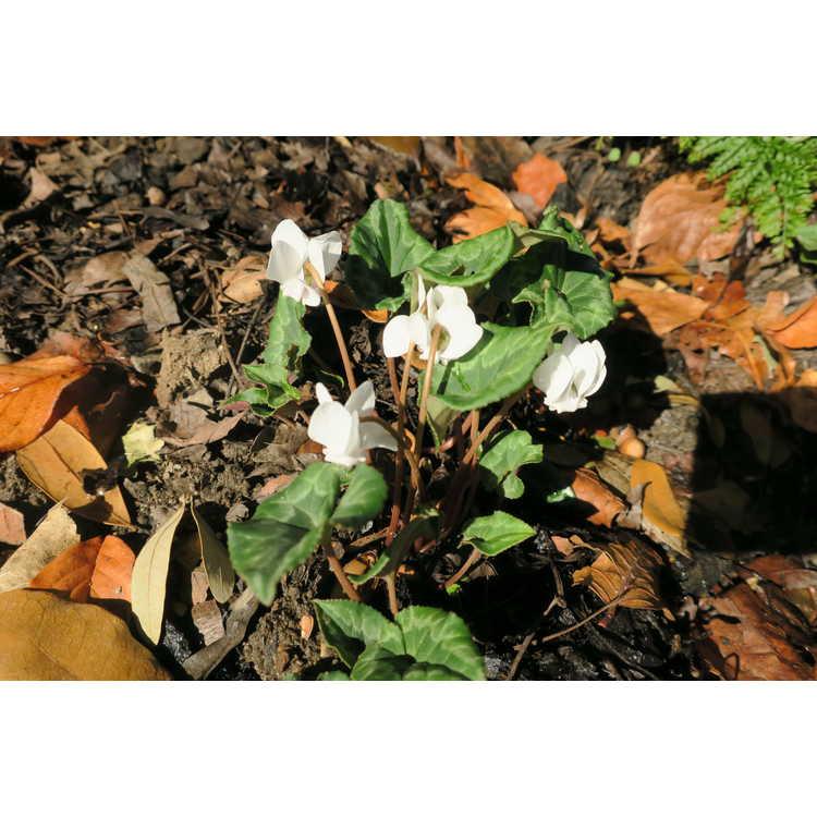 Cyclamen hederifolium var. hederifolium f. albiflorum - hardy cyclamen