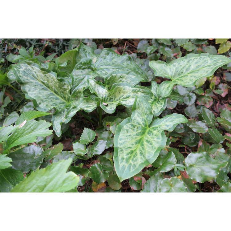 Arum italicum × Arum italicum subsp. neglectum 'Chameleon'