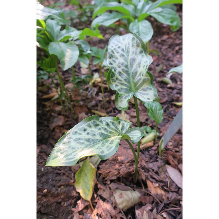 Arum italicum 'Dapples'