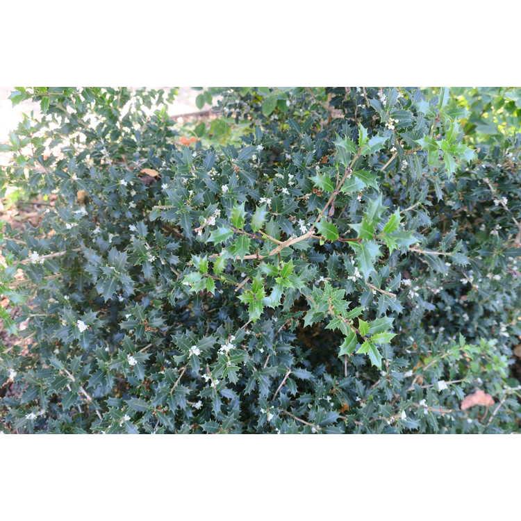Osmanthus heterophyllus 'Kaori Hime' - fragrant princess false holly