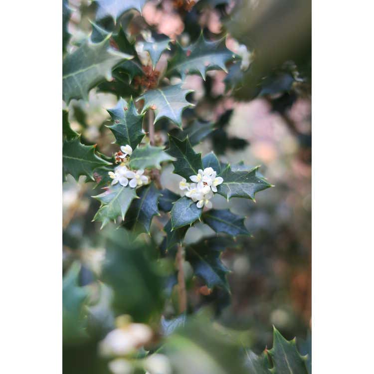 Osmanthus heterophyllus Kaori Hime