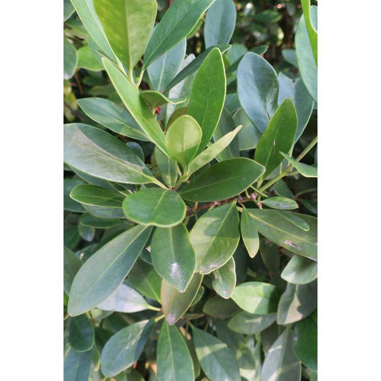 Illicium parviflorum 'Forest Green'