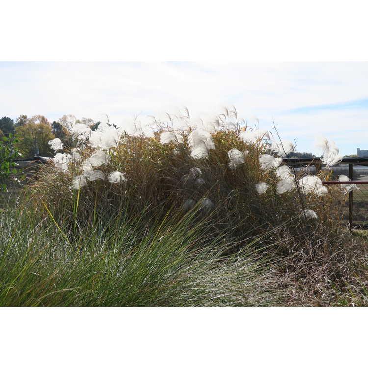 Miscanthus sacchariflorus 'Gotemba Gold' - Amur silvergrass