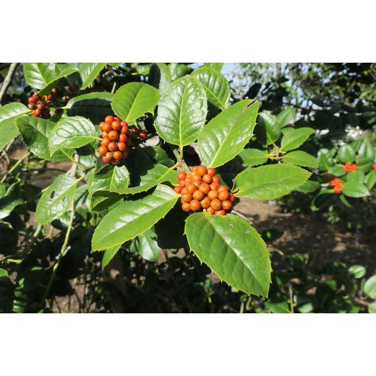 Ilex 'Venus' - evergreen holly
