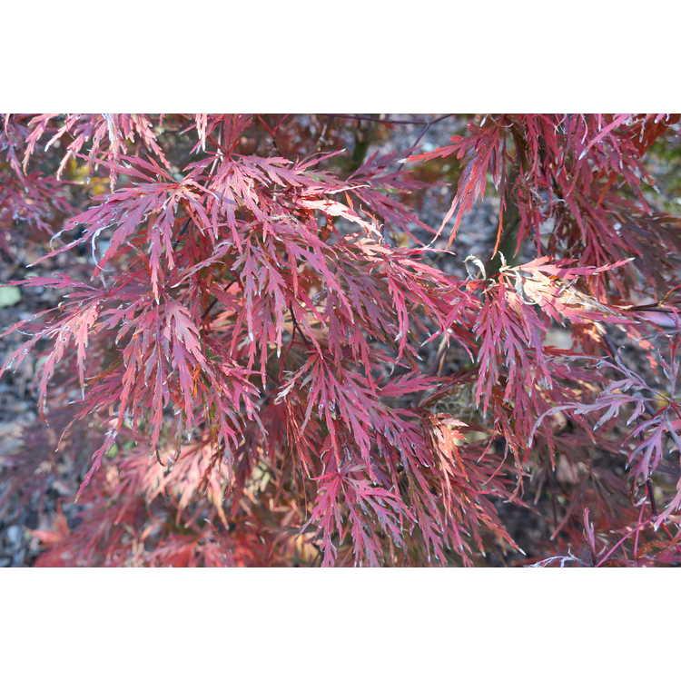 Acer palmatum 'Ornatum' - red lace-leaf Japanese maple