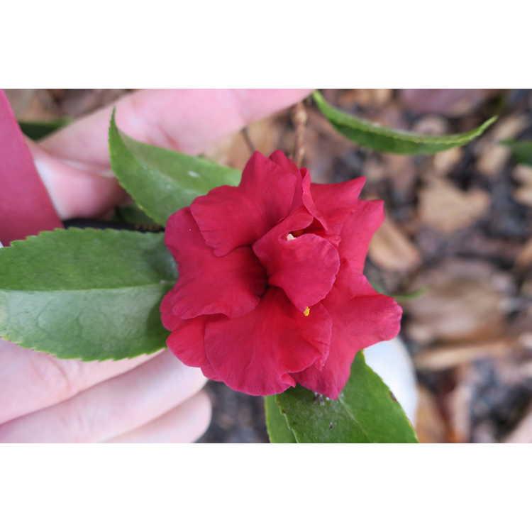 Camellia sasanqua Tdn116 Bella Rouge