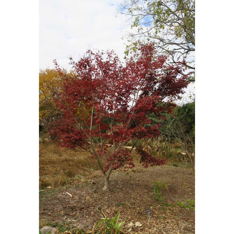 Acer palmatum 'Nuresagi' - purple-leaf Japanese maple