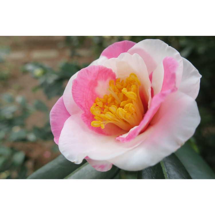 Camellia ×vernalis 'Shibori Egao' - hybrid camellia