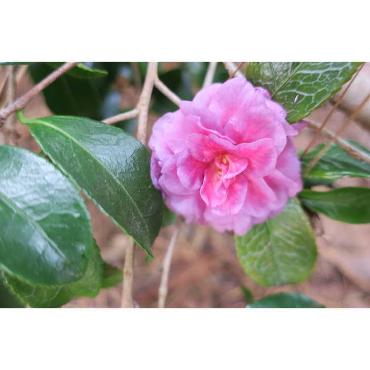Camellia ×hiemalis 'Green's Blues'