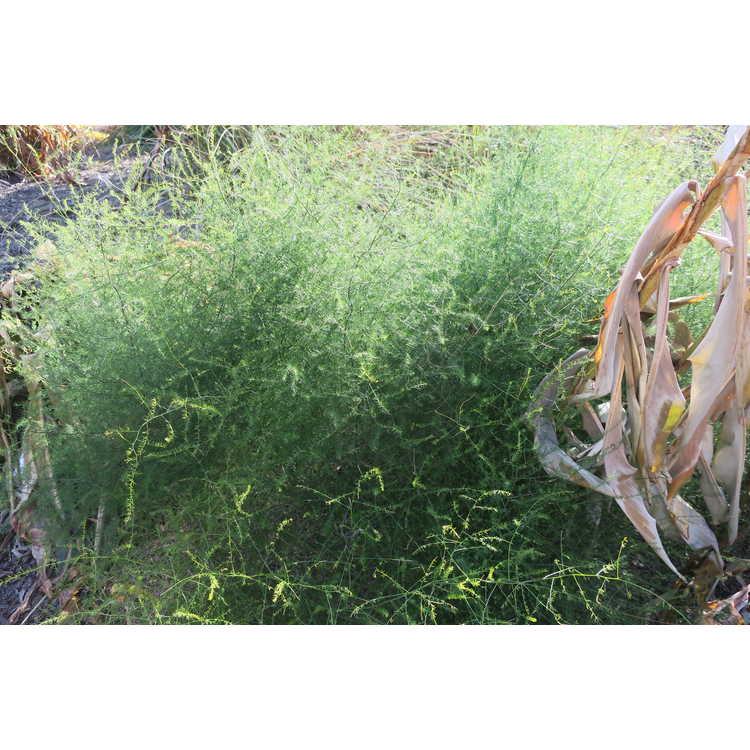 Asparagus denudatus - naked asparagus fern