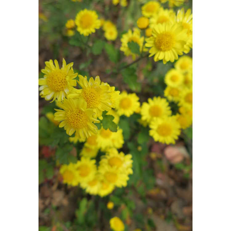 Chrysanthemum Golden Lida Thomas