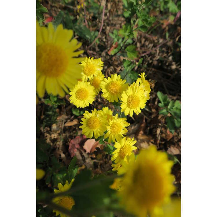 Chrysanthemum 'Golden Lida Thomas'