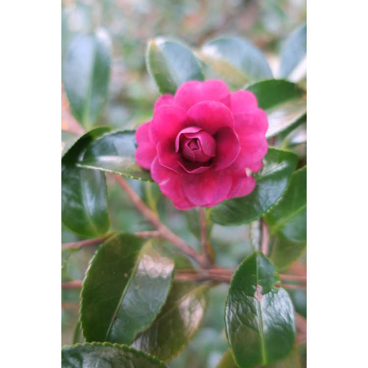 Camellia ×hiemalis 'Green's Blues' - hybrid camellia