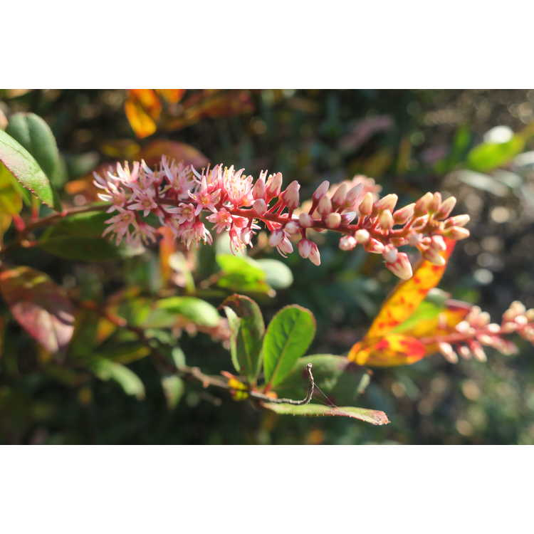 Itea virginica 'Japanese American' - Virginia sweetspire