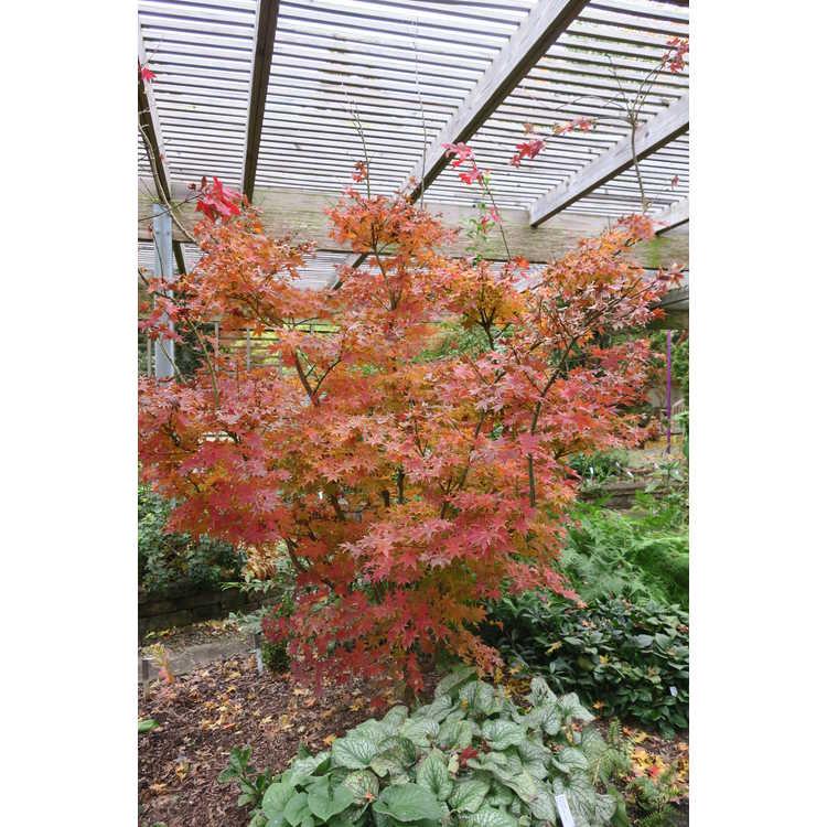 Acer palmatum 'Summer Gold'