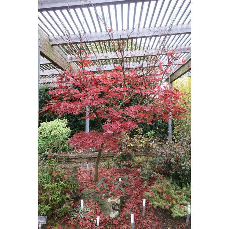 Acer palmatum 'Purple Ghost' - purple-leaf Japanese maple