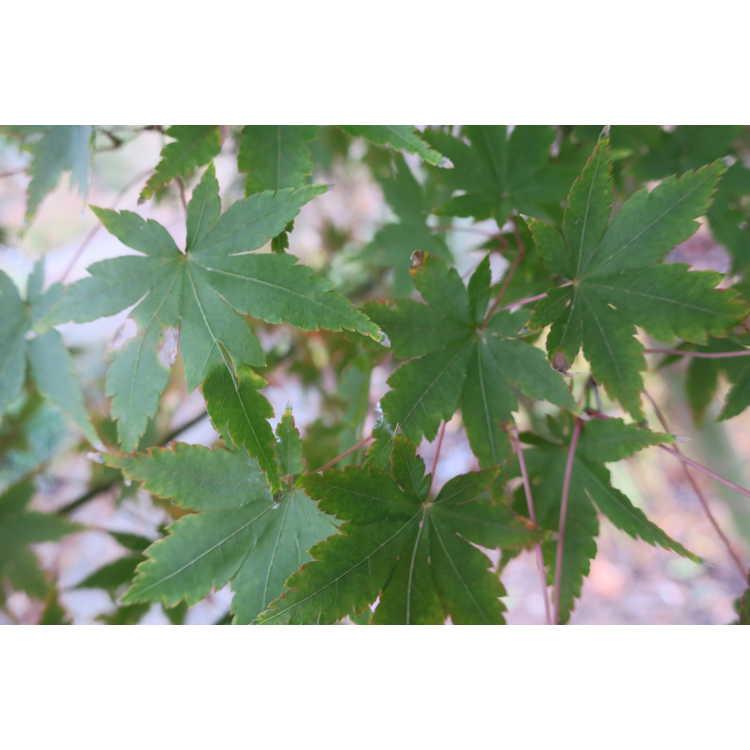 Acer palmatum 'Tsukasa Silhouette' - upright Japanese maple
