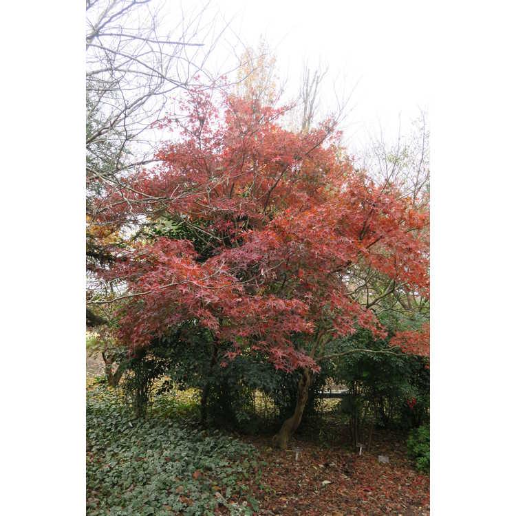 Acer palmatum 'Kamagata'