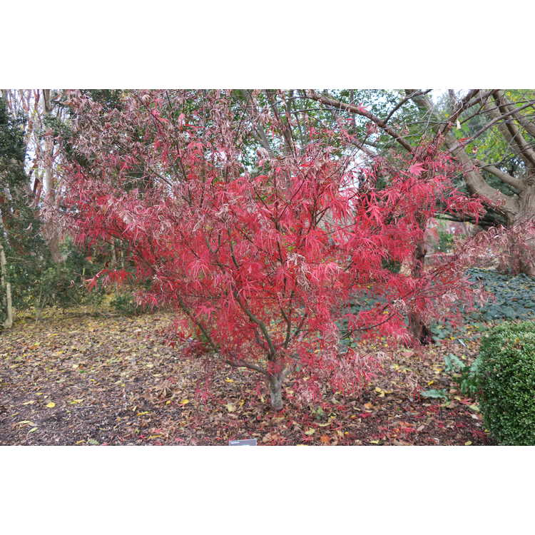 Acer palmatum 'Hubb's Red Willow' - purple narrowleaf Japanese maple