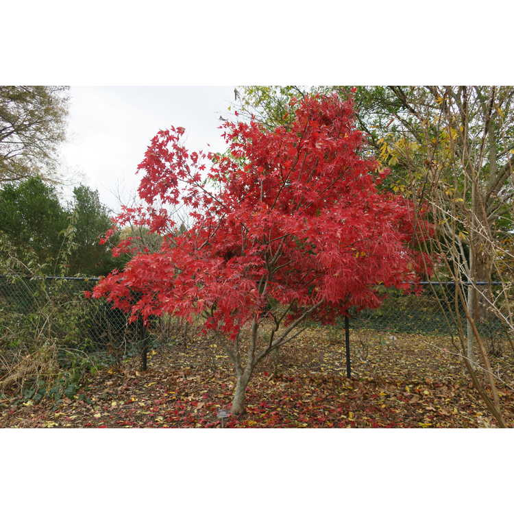 Acer palmatum 'Scolopendriifolium' - green narrowleaf Japanese maple