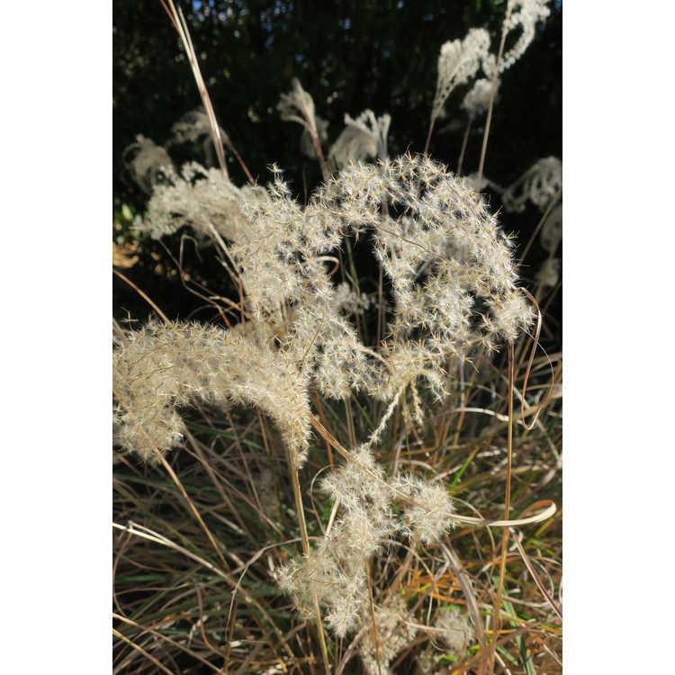 Miscanthus sinensis 'Little Zebra' - maiden grass