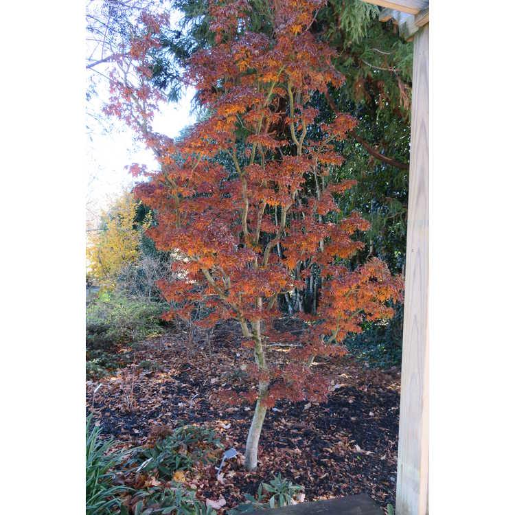 Acer palmatum 'Shishigashira' - lion's-mane Japanese maple