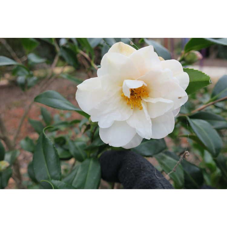 Camellia ×vernalis 'Ginryu' - vernal camellia