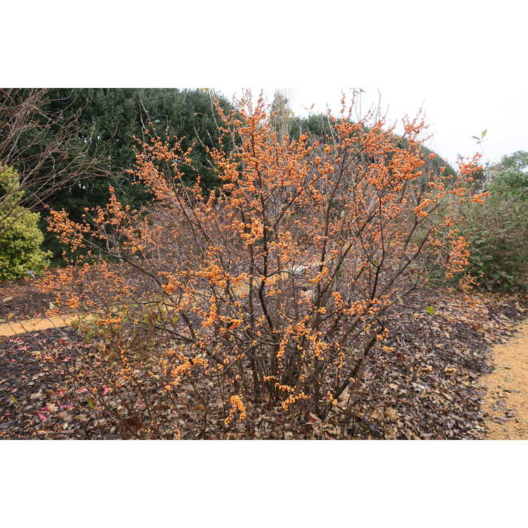 Ilex verticillata 'Winter Gold'