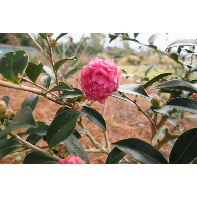 Camellia sasanqua 'Green 01-006' - October Magic Carpet sasanqua camellia