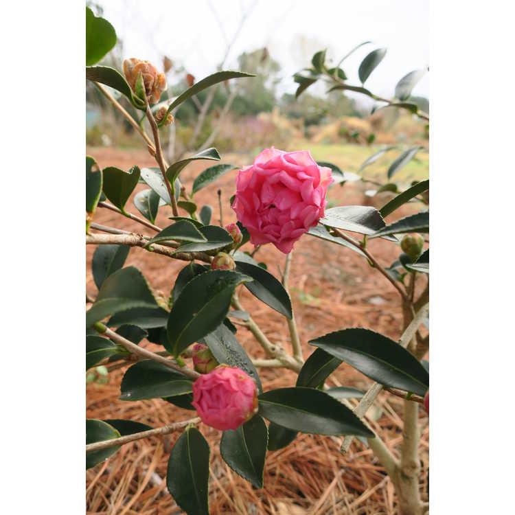 Camellia sasanqua 'Green 01-006' - October Magic Carpet sasanqua camellia