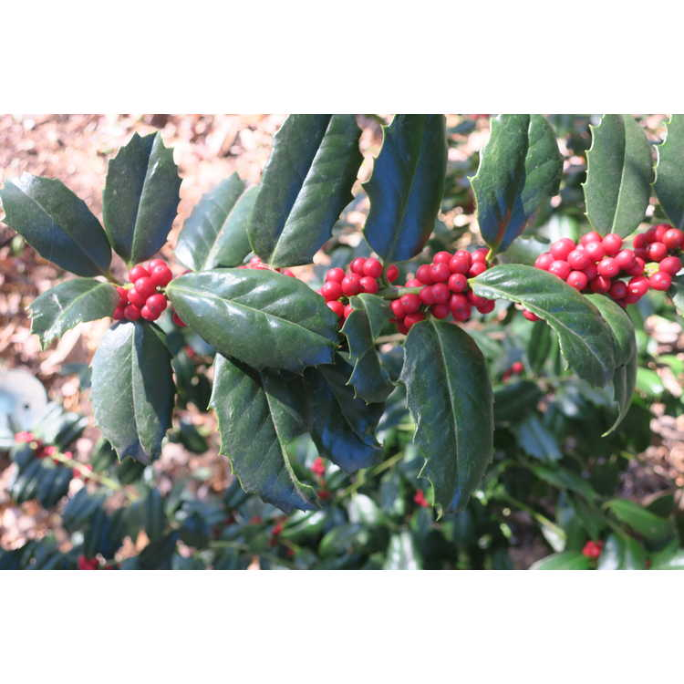 Ilex 'Conive' - Festive red holly