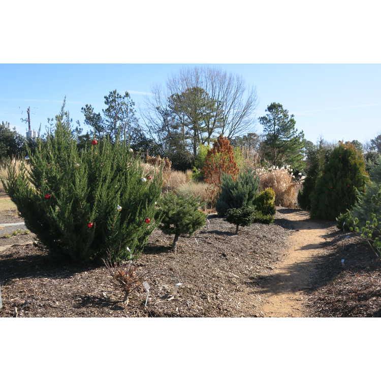 Juniperus chinensis 'Obelisk'