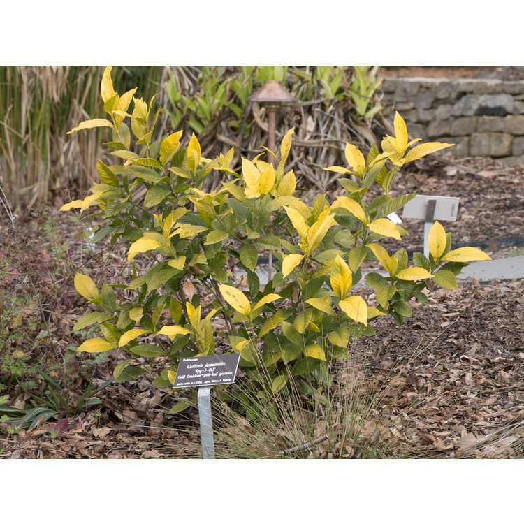 Gardenia jasminoides 'Ogon-no-hana'