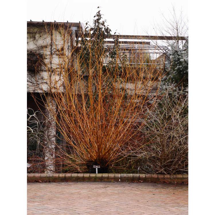 Salix 'Flame'