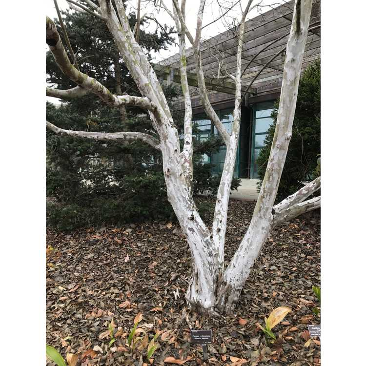 Cornus wilsoniana 'White Jade' - Wilson's dogwood