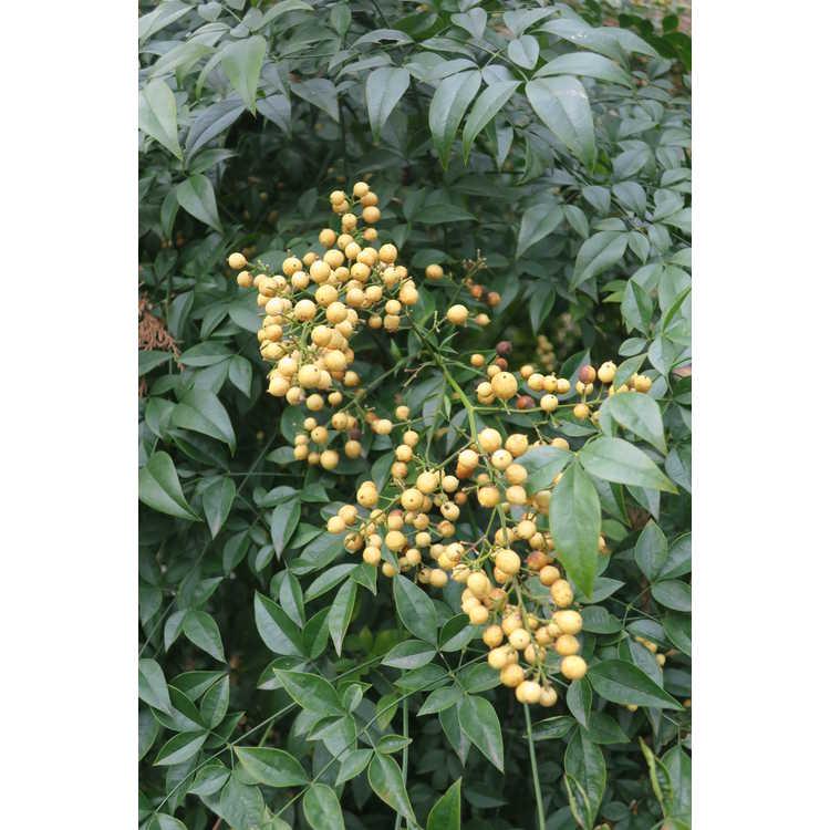 Nandina domestica 'Aurea' - yellow-berry heavenly bamboo