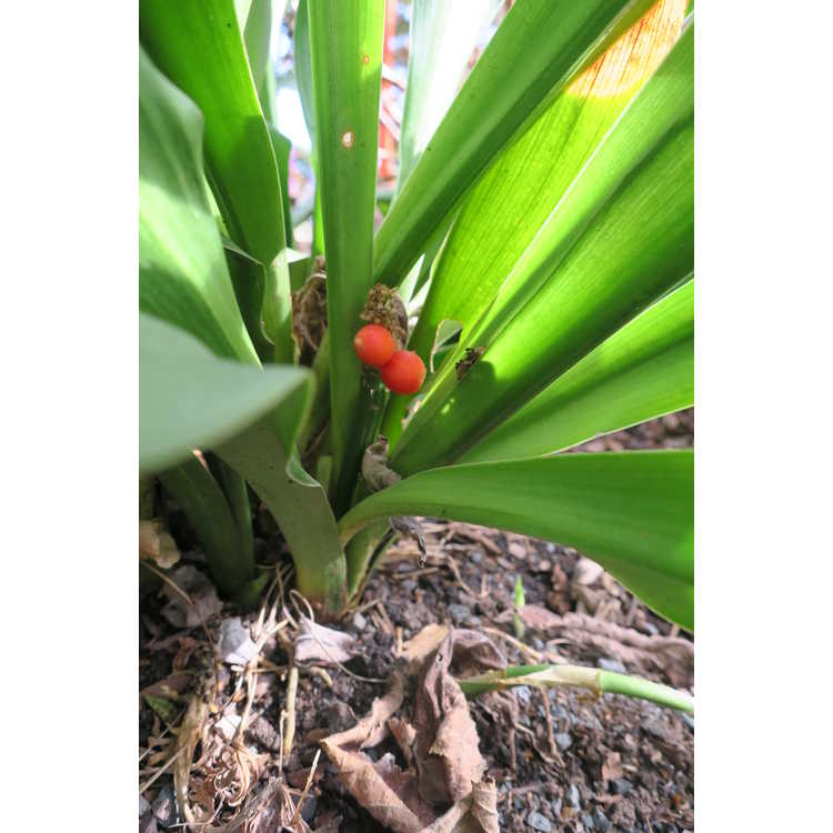 Rohdea japonica 'Yattazu Yan jaku' - sacred lily