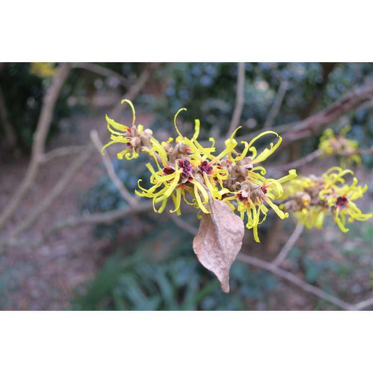 Hamamelis mollis 'Early Bright' - Chinese witchhazel