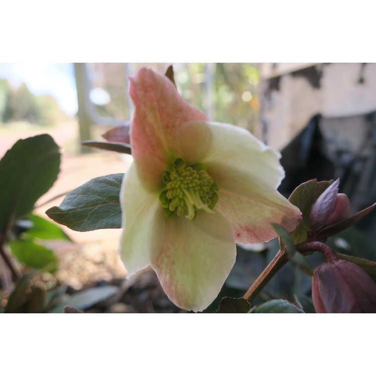 Helleborus ×ballardiae 'Coseh 810' - Merlin hellebore