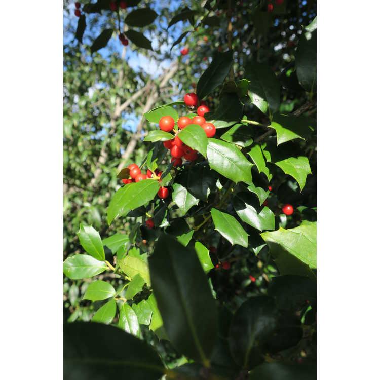 Ilex 'Patricia Varner' - Dodd hybrid evergreen holly