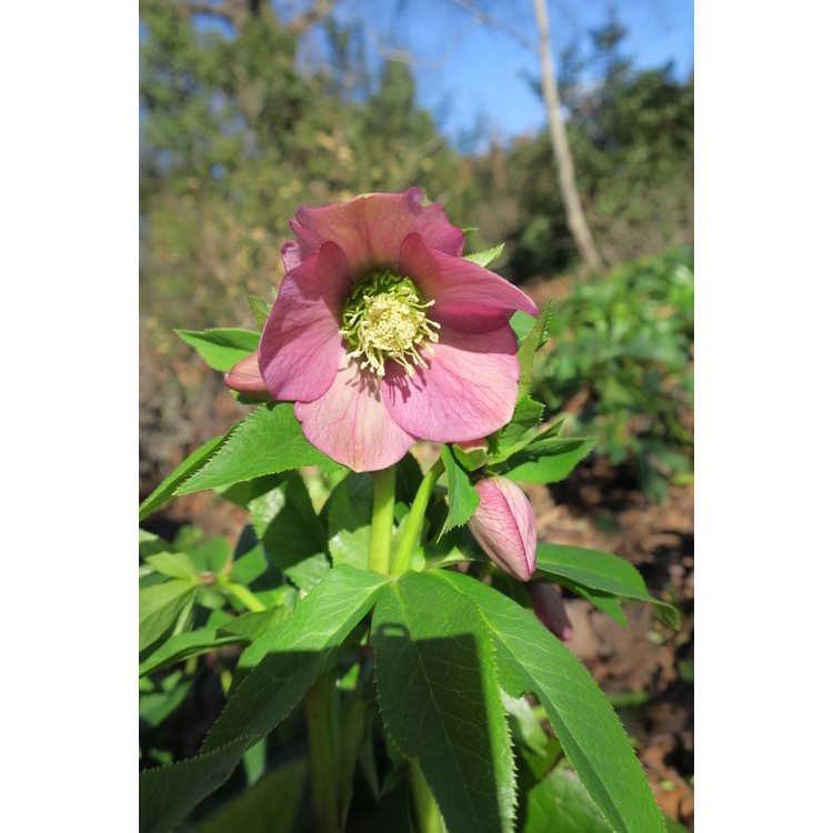 Helleborus ×hybridus (mid-pink shades) - Lenten rose