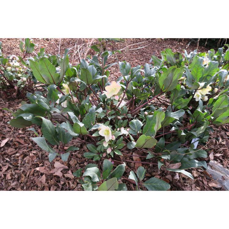 Helleborus ×ericsmithii 'Coseh 790'
