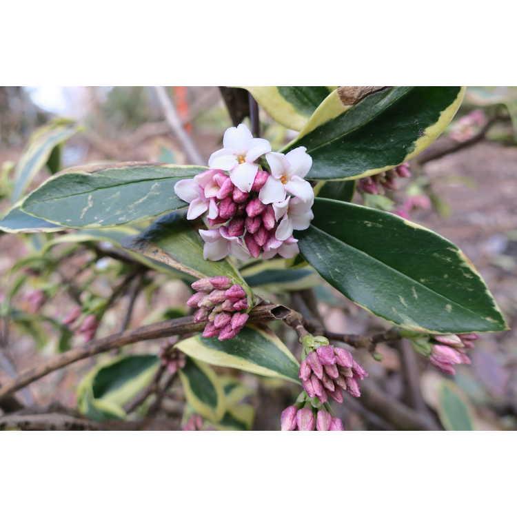 Daphne odora 'Hewreb' - Rebecca variegated winter daphne