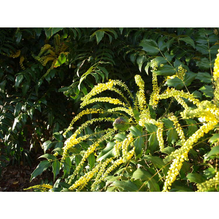 Mahonia 'Arthur Menzies' - grapeholly