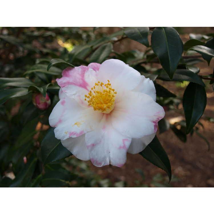 Camellia ×vernalis 'Shibori Egao'