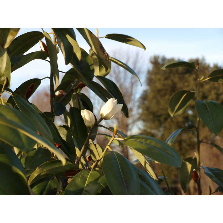 Magnolia cavaleriei var. platypetala