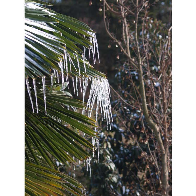 Trachycarpus fortunei 'Wagnerianus'