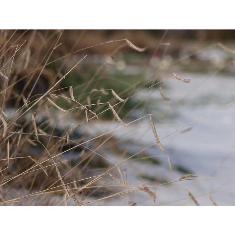 Bouteloua gracilis 'Blonde Ambition' - blue grama