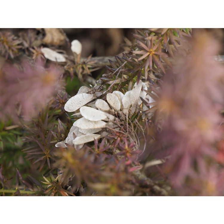 Podocarpus acutifolius - needle-leaved totara