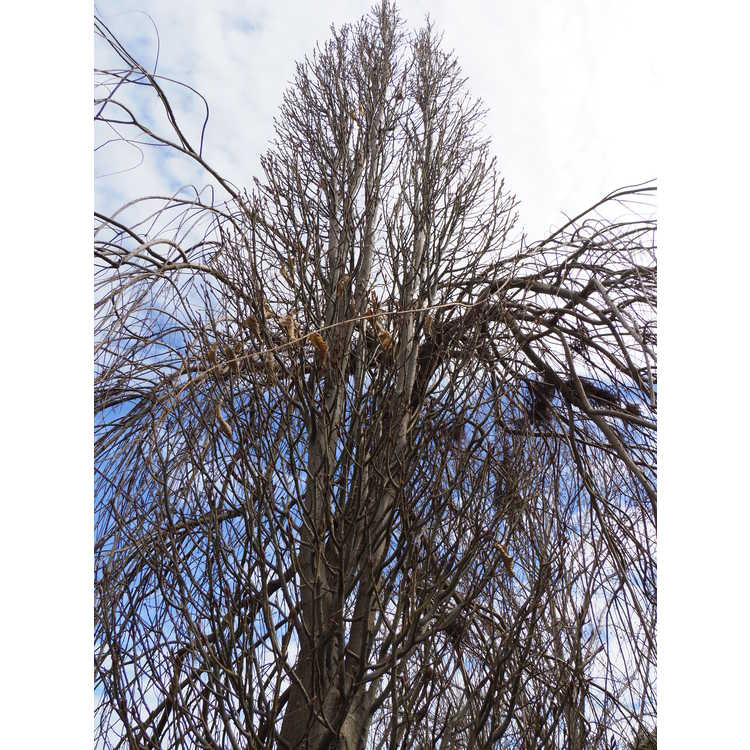 Carpinus betulus 'Columnaris' - columnar dwarf hornbeam